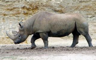 Rinocer negru