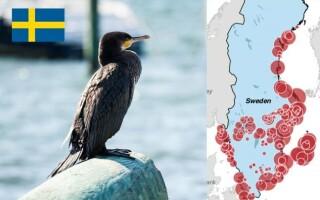 ambasada suediei, cormorani