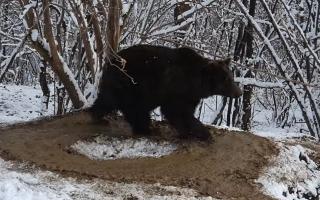 Imagini sfâșietoare la Zărnești. Un urs care a stat 20 de ani în cușcă se învârte în cerc, deși este liber