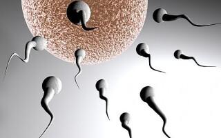 spermatozoizi