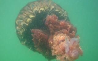 meduza uriasa