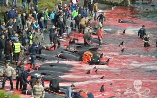 balene feroe