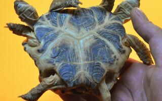 ţestoasă cu două capete