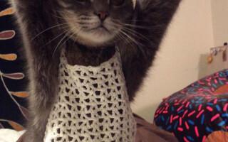 pisica imbracata cu bustiera