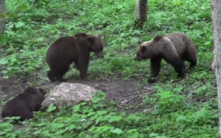 Pericol pe Valea Prahovei. Zeci de urși alungați în ultimele două zile