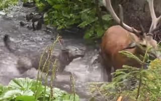 Luptă pentru supraviețuire: cerb atacat de lupi în Călimani. VIDEO IMPRESIONANT