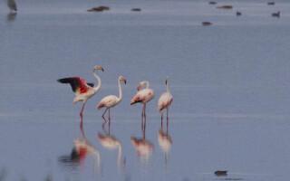 Flamingo in Delta Dunarii, in anul 2016