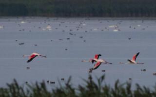 Flamingo în Delta Dunării, în 2016