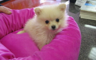 rasa Pomeranian