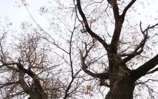 salcam, copac