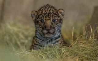 Pui de jaguar