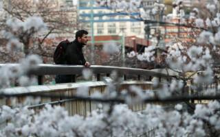 Au înflorit cireșii în Tokyo. Oamenii fotografiază peisajul sublim