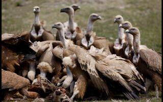 vulturi