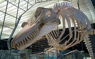 craniu balena ucigasa