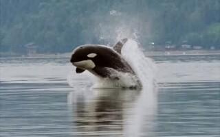 orca, balena ucigasa