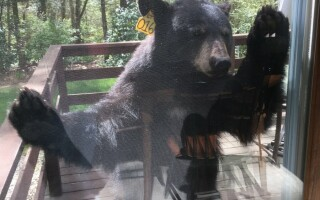 Ursul pofticios