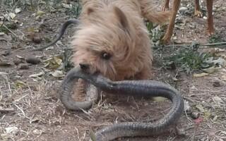 spike cobra