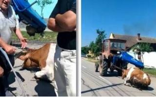 vaca tărătă cu tractorul