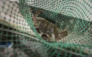 crabi parosi