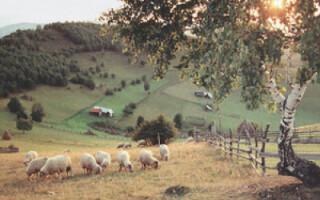 Oile nu au avut nicio sansa in fata haitei de caini