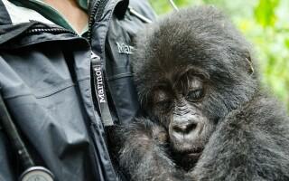 pui de gorila