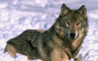 Un plan de ucidere a peste o suta de lupi starneste controverse in Spania