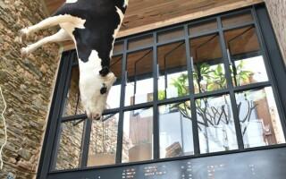 vaca in pizzerie Australia
