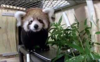 Un pui de panda roşu a fost prezentat cu mândrie de Grădina Zoologică din Milwaukee
