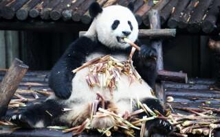 Un panda uriaș mănâncă bambus