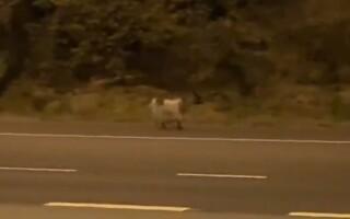 Autostradă din Anglia închisă din cauza unei capre.