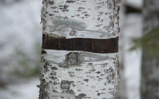 Un nord-coreean a fost trimis în lagă pentru că a tăiat un copac