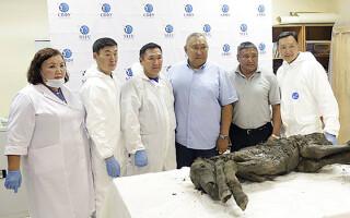 Descoperire de senzație: primul urs de peșteră perfect conservat, găsit în Siberia