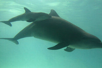 Primul ghid de conversatie om-delfin, in curs de aparitie?