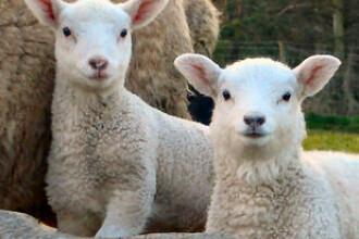 Regulile de sacrificare a mieilor scumpesc carnea inainte de Paste