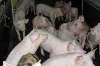 Gripa porcina nu se ia prin consumul de carne de porc!