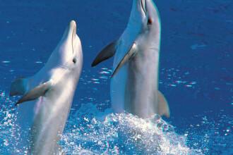 Delfinii sunt pradatori sexuali. Un studiu arata ca nu doar la inteligenta pot fi asemuiti oamenilor