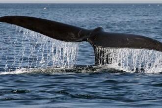 cele mai mari balene penis)