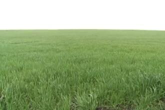 Ploile din ultimele saptamani sunt o binecuvantare pentru agricultura.Ce recolte vom avea din belsug