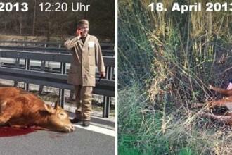 Se intampla chiar si in Germania. Politia, chemata doua zile la rand pentru vacile de pe autostrada