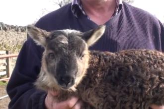 VIDEO. Creatura care nu este nici oaie, nici capra. Cum arata rezultatul imperecherii celor doua animale domestice