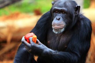 Momentul în care cimpanzeii evadează de la o grădină zoologică. Ce au făcut apoi. VIDEO