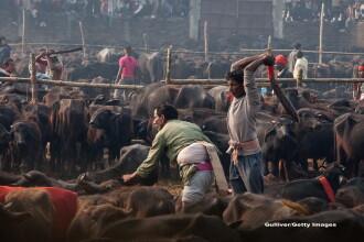 Traditii sangeroase la Nepal. In 2014, peste 250.000 de animale au fost ucise la un festival
