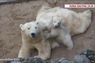 Imagini induiosatoare cu un ursulet polar care incearca prin orice mijloc sa ii atraga atentia mamei sale. VIDEO