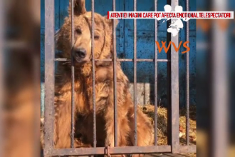 Masa si Grisa, cei doi ursi salvati de la moarte, au ajuns in rezervatia din Zarnesti. Cat cantareau cand au fost gasiti