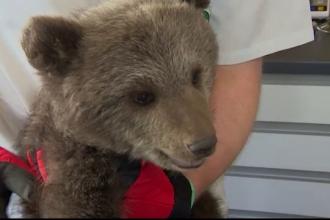 Pui de urs abandonat de mama, salvat de la moarte sigura de un padurar, in Polonia