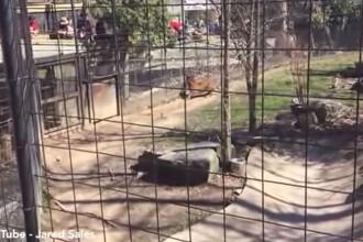 O femeie sare in cusca tigrului, la Zoo, ca sa-si recupereze palaria luata de vant. Scenele care au urmat, FILMATE