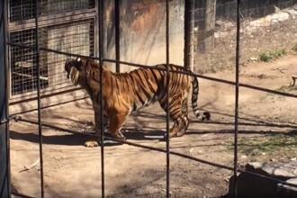 Gestul facut de o femeie dupa ce copilul ei si-a pierdut palaria in cusca tigrilor.