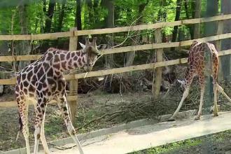 Dupa 6 luni de acomodare, cele 3 girafe de la gradina zoo din Targu Mures au iesit la plimbare. Vizitatorii s-au pozat cu ele