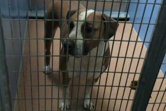 Orasul Montreal va interzice cainii pitbull