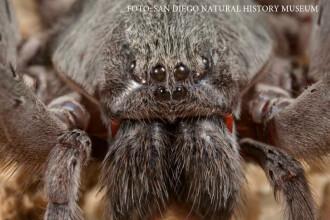 Cercetatorii au descoperit o noua specie de paianjen gigantic, din familia tarantulelor. Cat de periculos este veninul sau